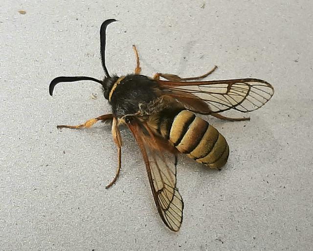 hornet moth 01 jun 21