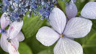 上野公園 紫陽花 青紅葉