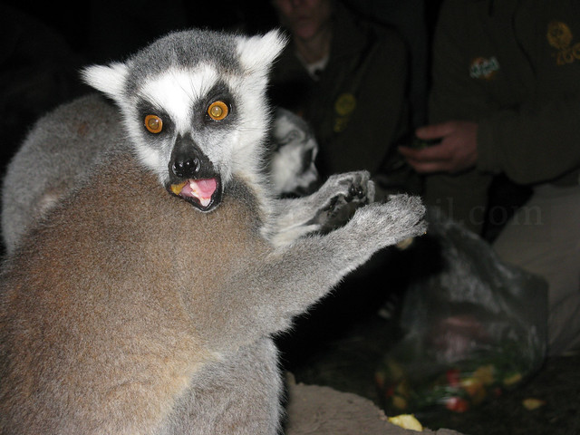 Lemur cola anillada 2