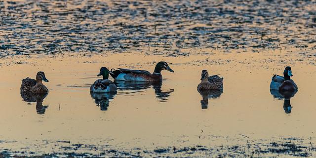 Mallard ducks in the sunset light