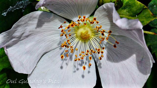 Wild Rose Of Summer