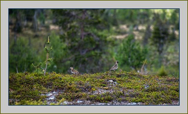 tunturin piippari / Golden Plovers