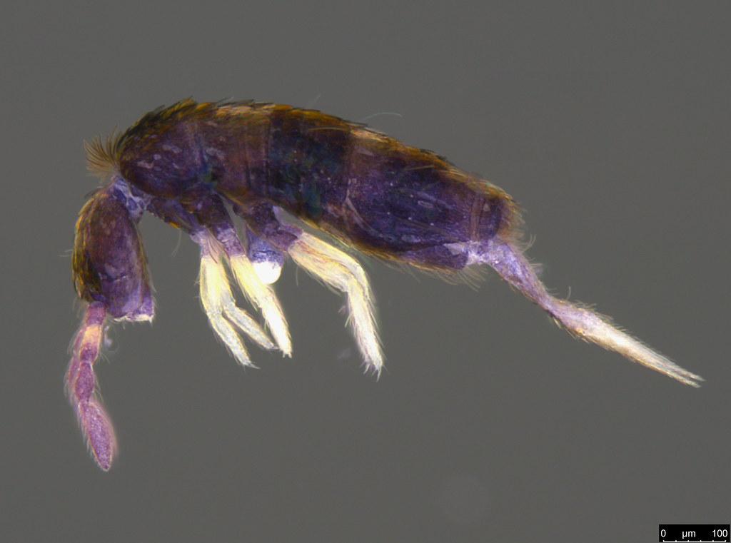 1 - Lepidocyrtus sp.