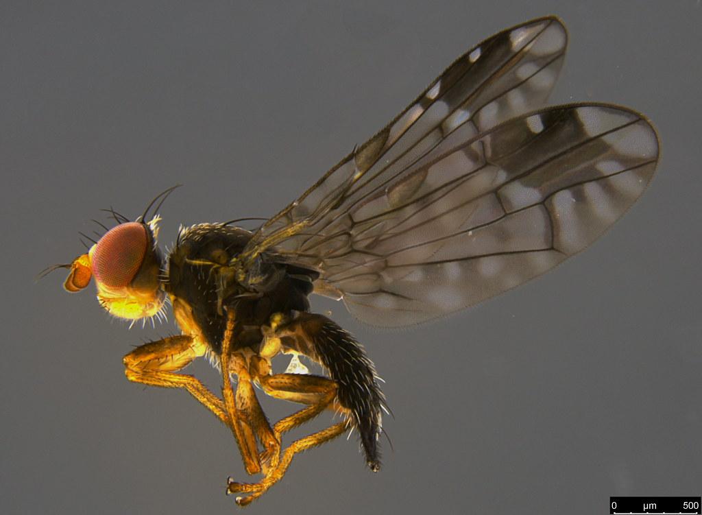 18a - Tephritidae sp.