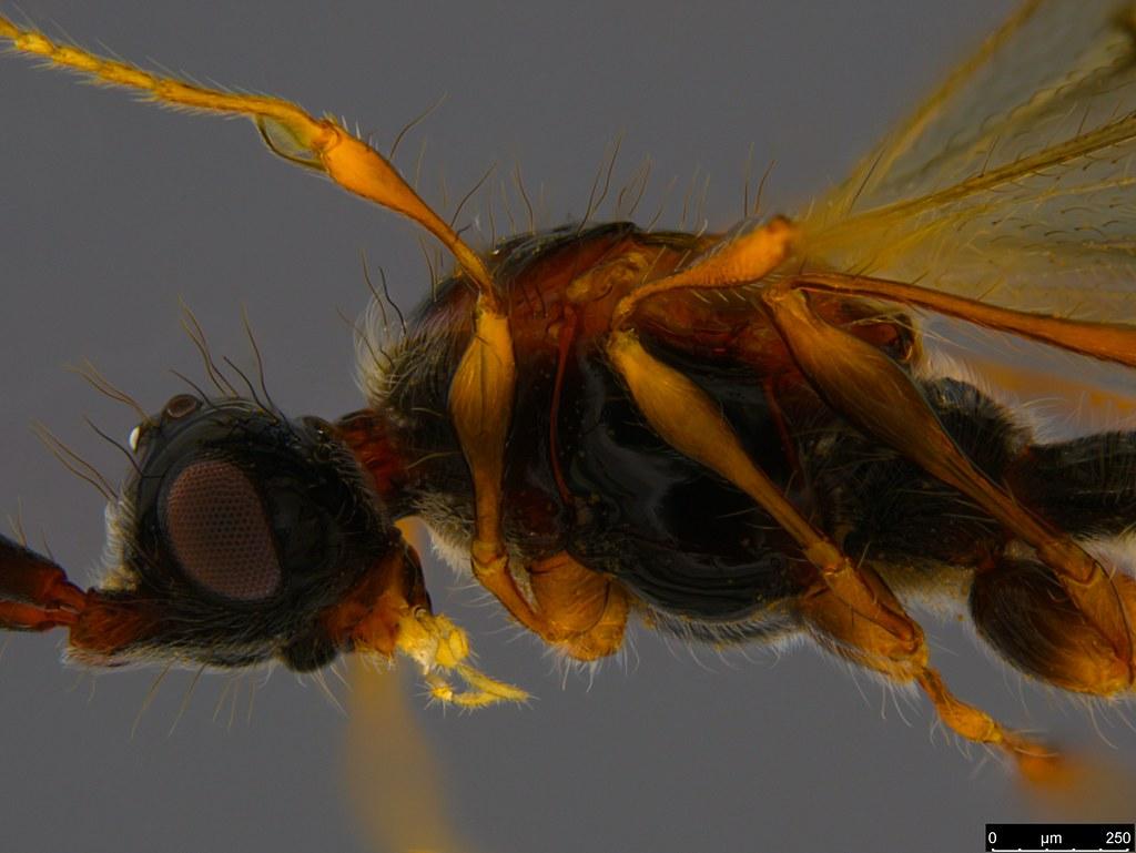 26d - Ambositrinae sp.