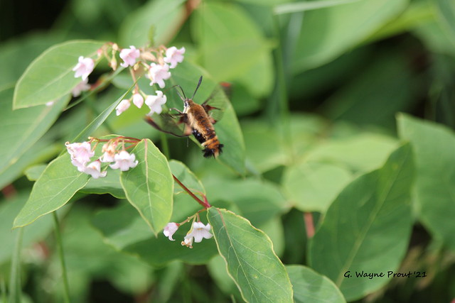 Hummingbird Clearwing (Hemaris thysbe) and Spreading Dogbane (Apocynum androsaemifolium)