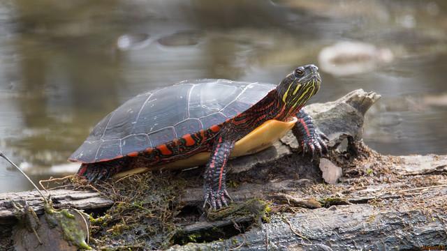 Tortue, turtle - Base de Plein Air de Ste-Foy, PQ, Canada - 4540