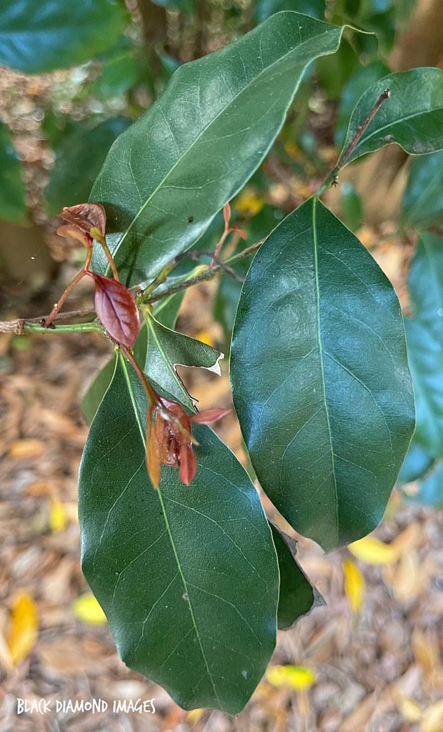 Cryptocarya vulgaris - Northern Laurel