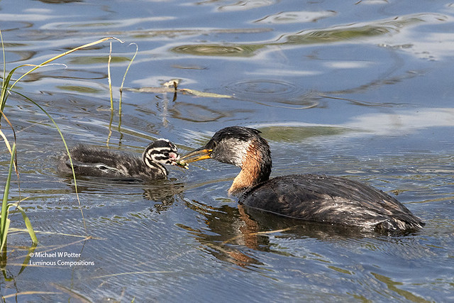 Red-necked Grebe adult feeding young