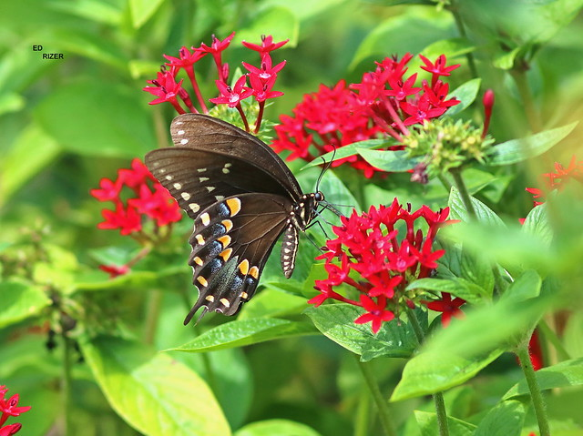 SPICEBUSH SWALLOWTAIL on Pintas - The Beauty Of God's Creation in central Florida USA 6/24/21 (EXPLORE)