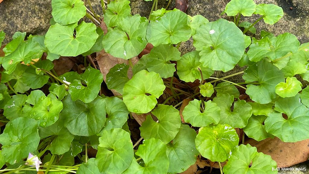Viola banksii - Native Violet