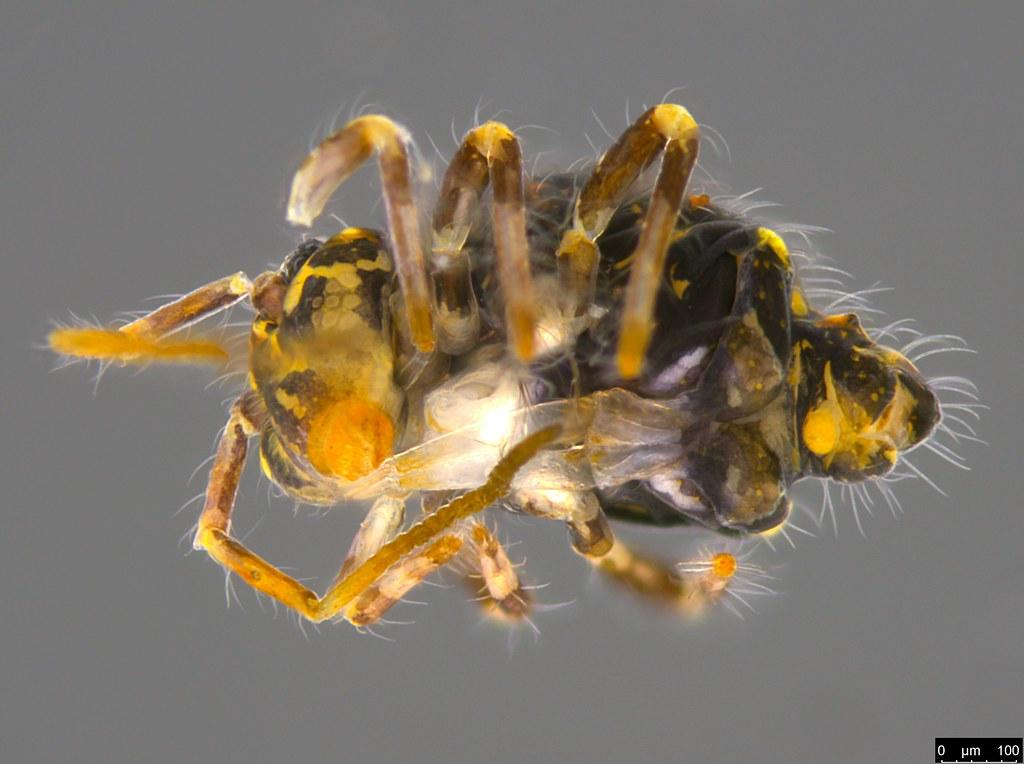5c - Sminthuridae sp.