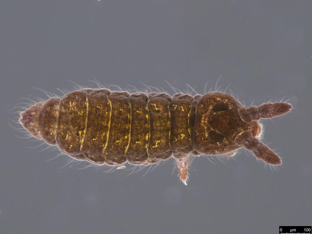 6a - Hypogastruridae sp.