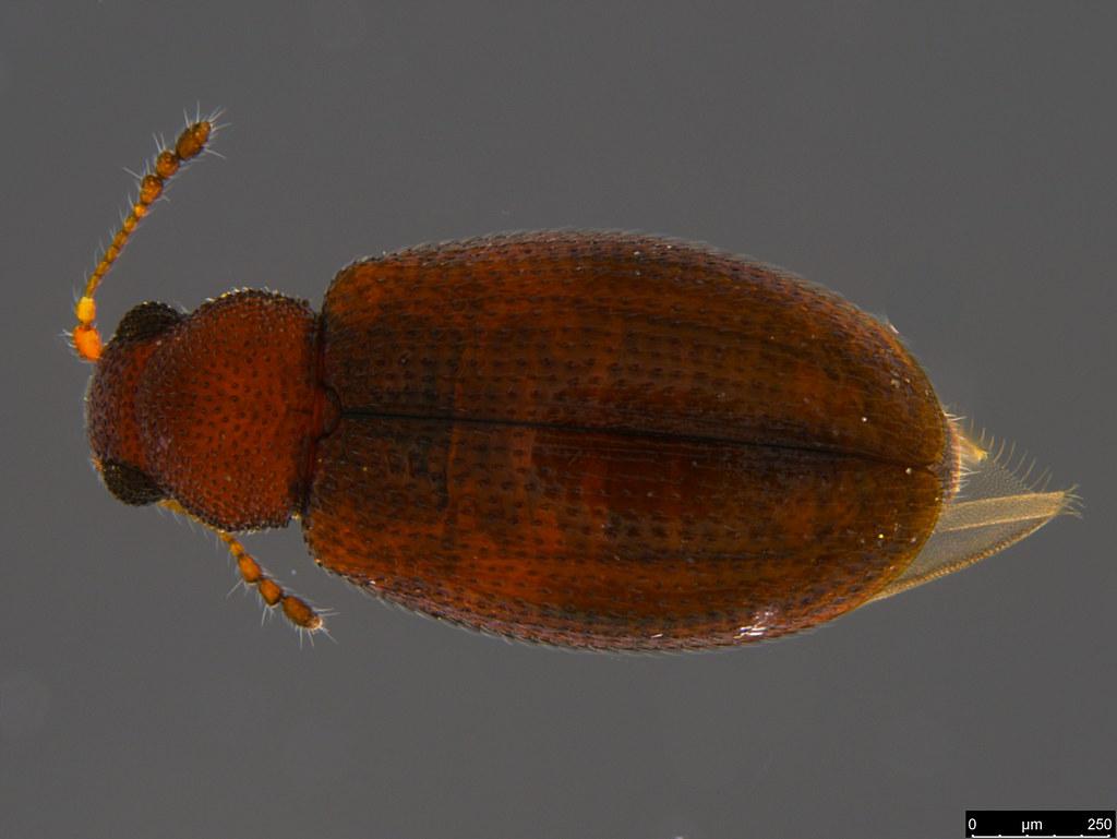 11b - Corticariinae sp.