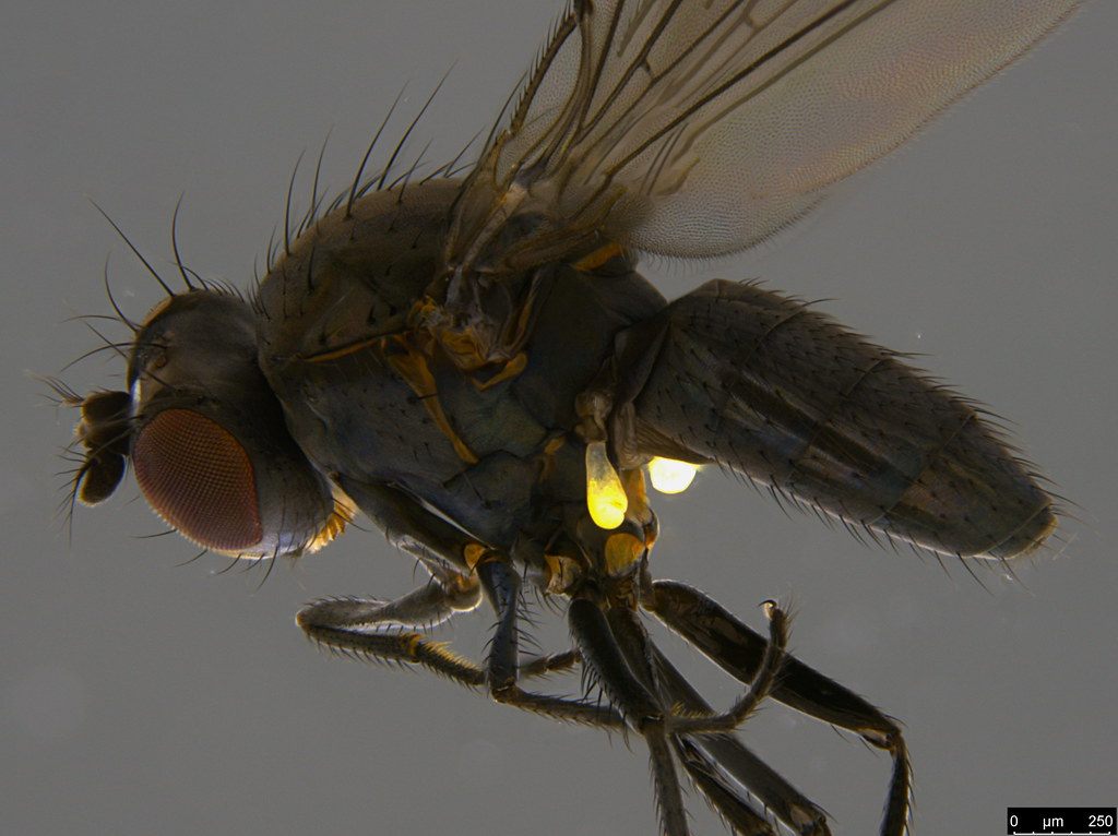 14b - Diptera sp.