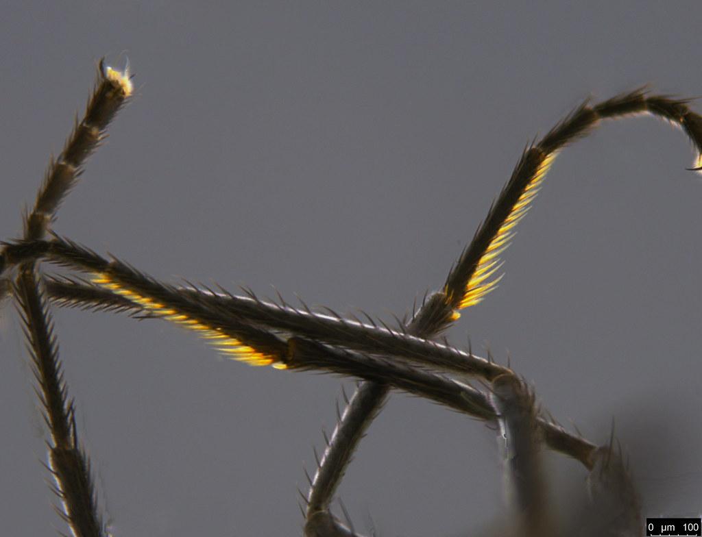 14d - Diptera sp.