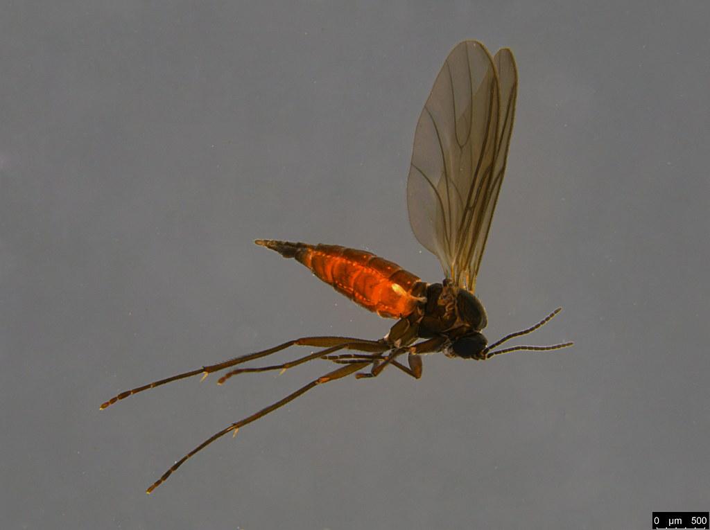 17a - Sciaridae sp.