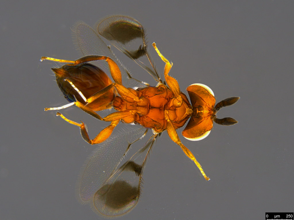 26b - Ophelosia bifasciata Girault, 1916