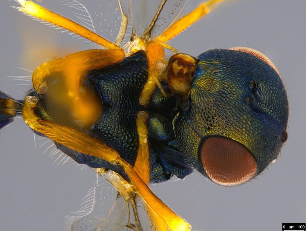 7ca - Chalcidoidea sp.