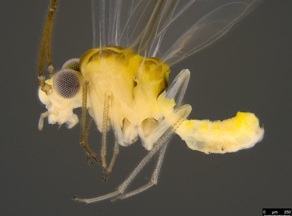 30b - Psocodea sp.
