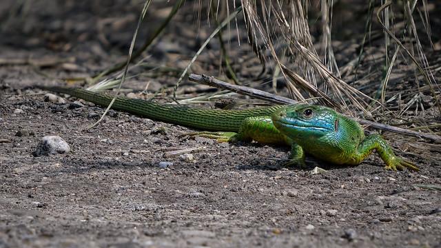 Westliche Smaragdeidechse (Lacerta bilineata) Männchen beim Sonnenbad
