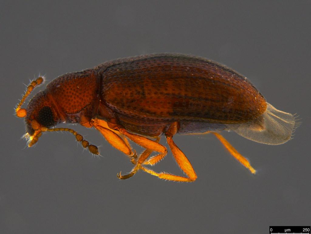 11a - Corticariinae sp.