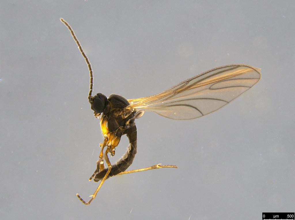 12 - Diptera sp.
