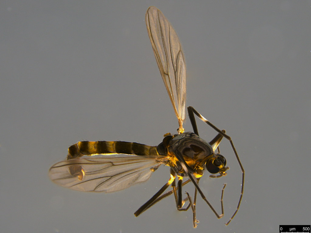 13a - Chironomidae sp.