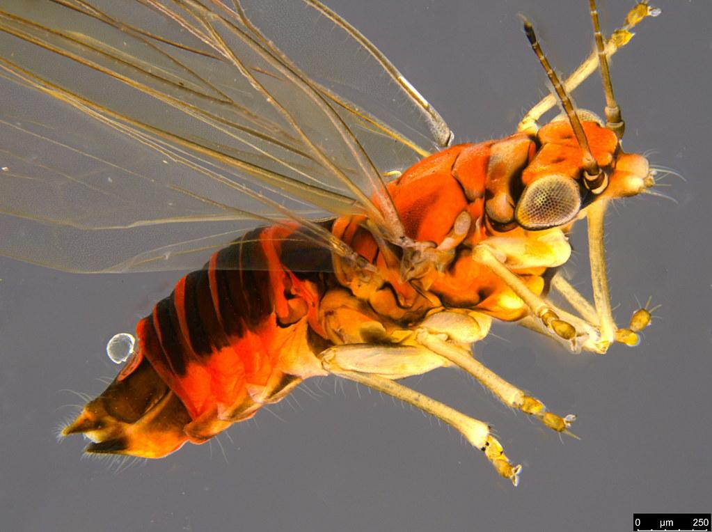22b - Aphalaridae sp.