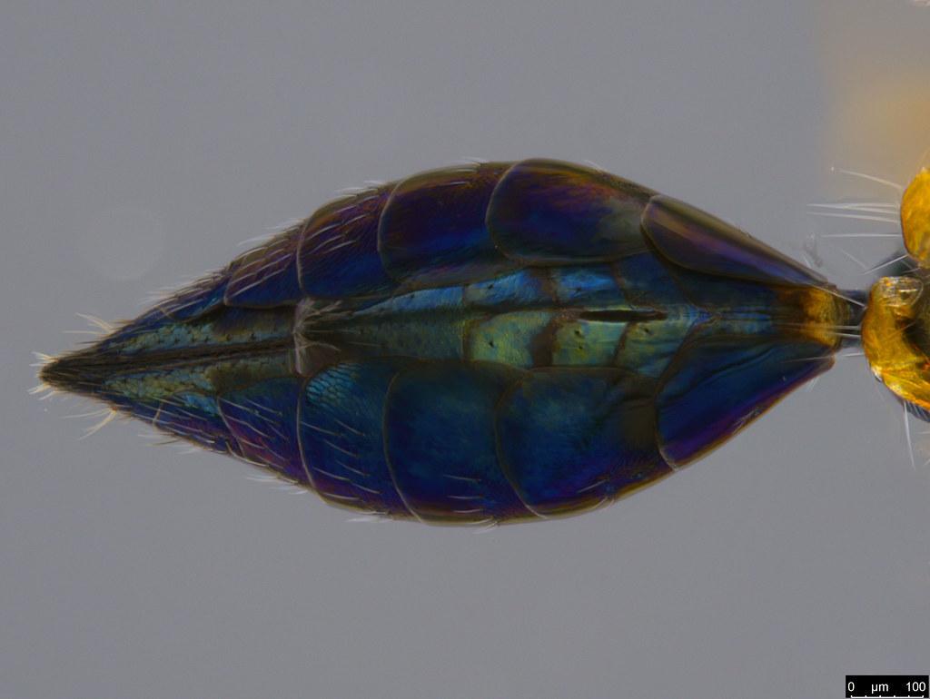 27d - Chalcidoidea sp.