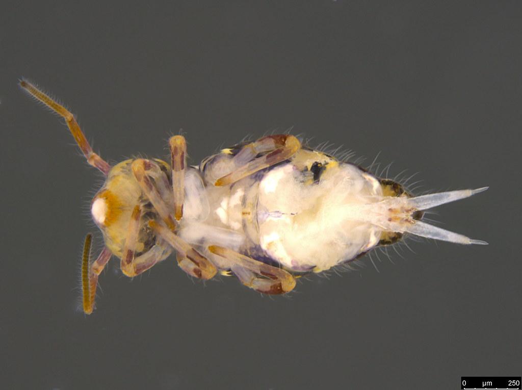 3b - Sminthuridae sp.