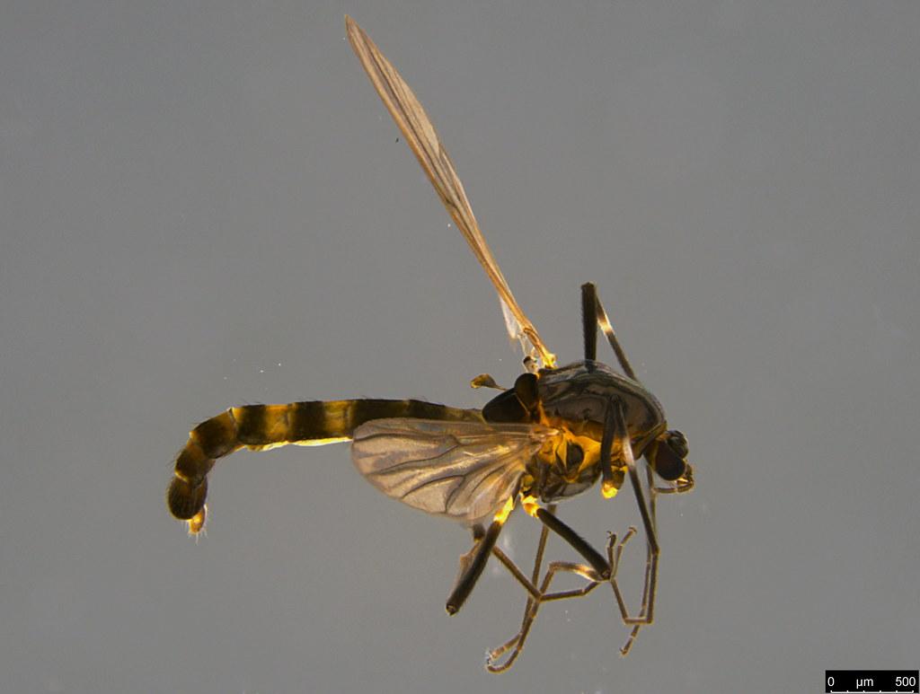 13b - Chironomidae sp.