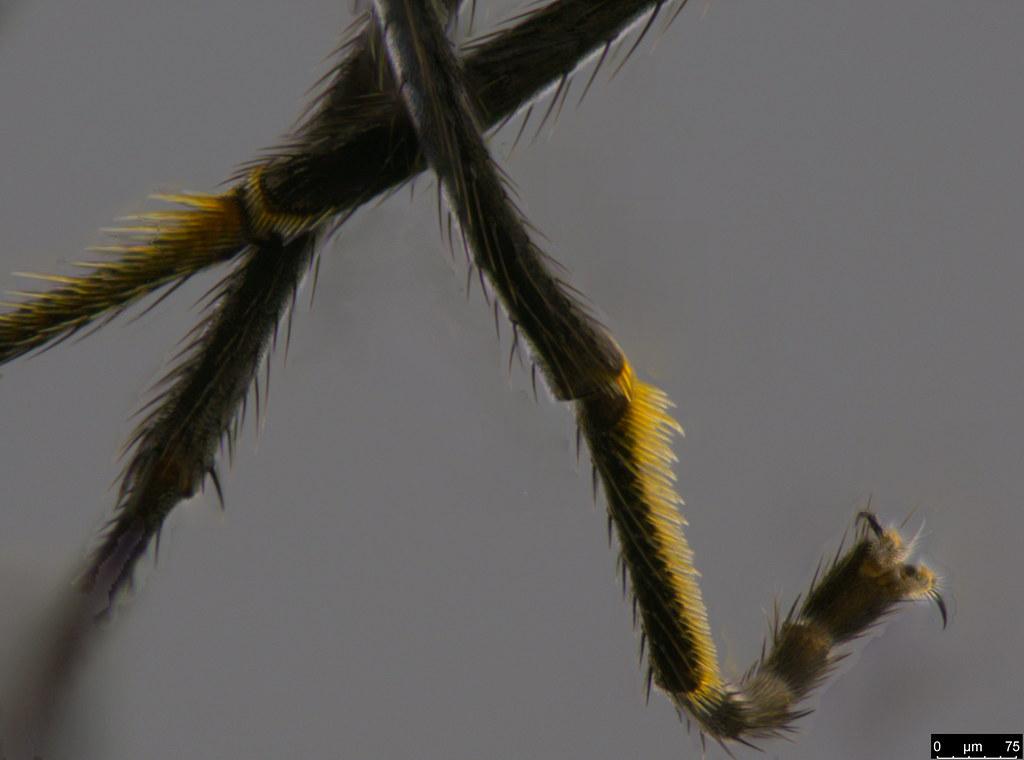 14c - Diptera sp.