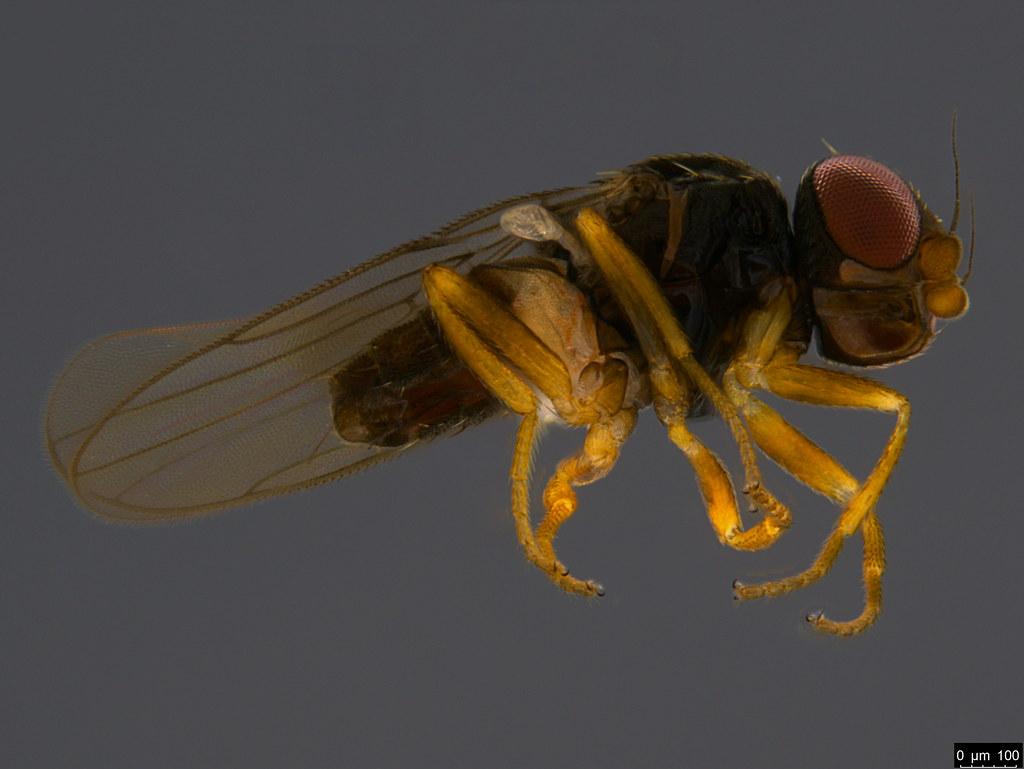 16b - Diptera sp.