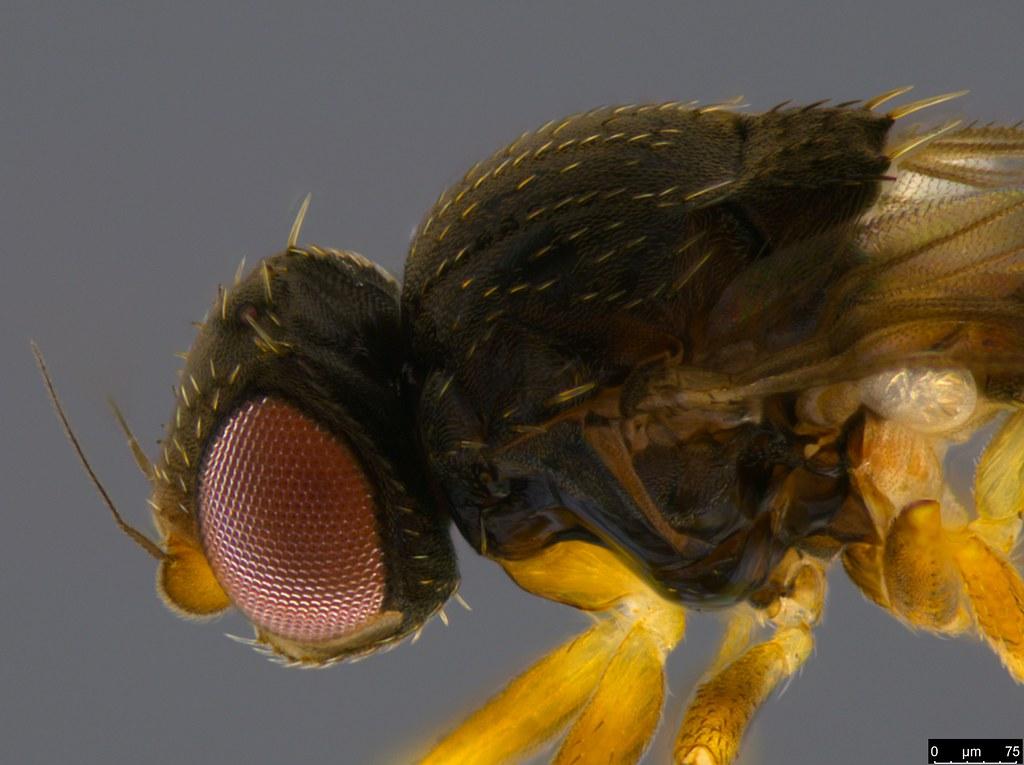16c - Diptera sp.
