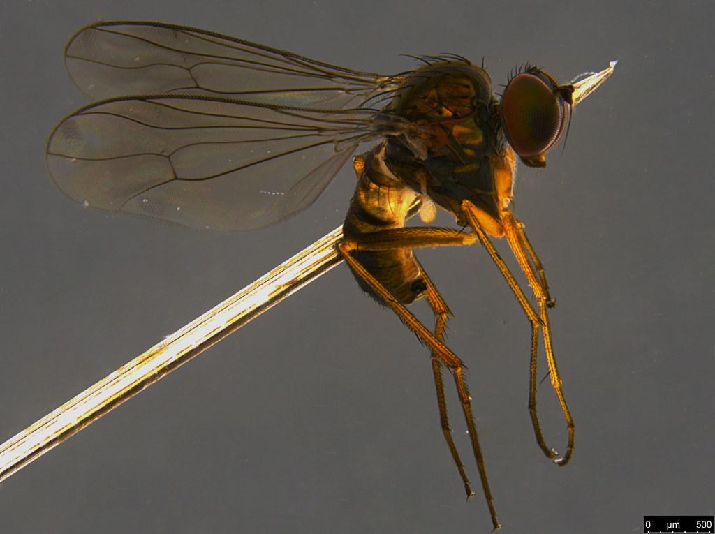19a - Diptera sp.