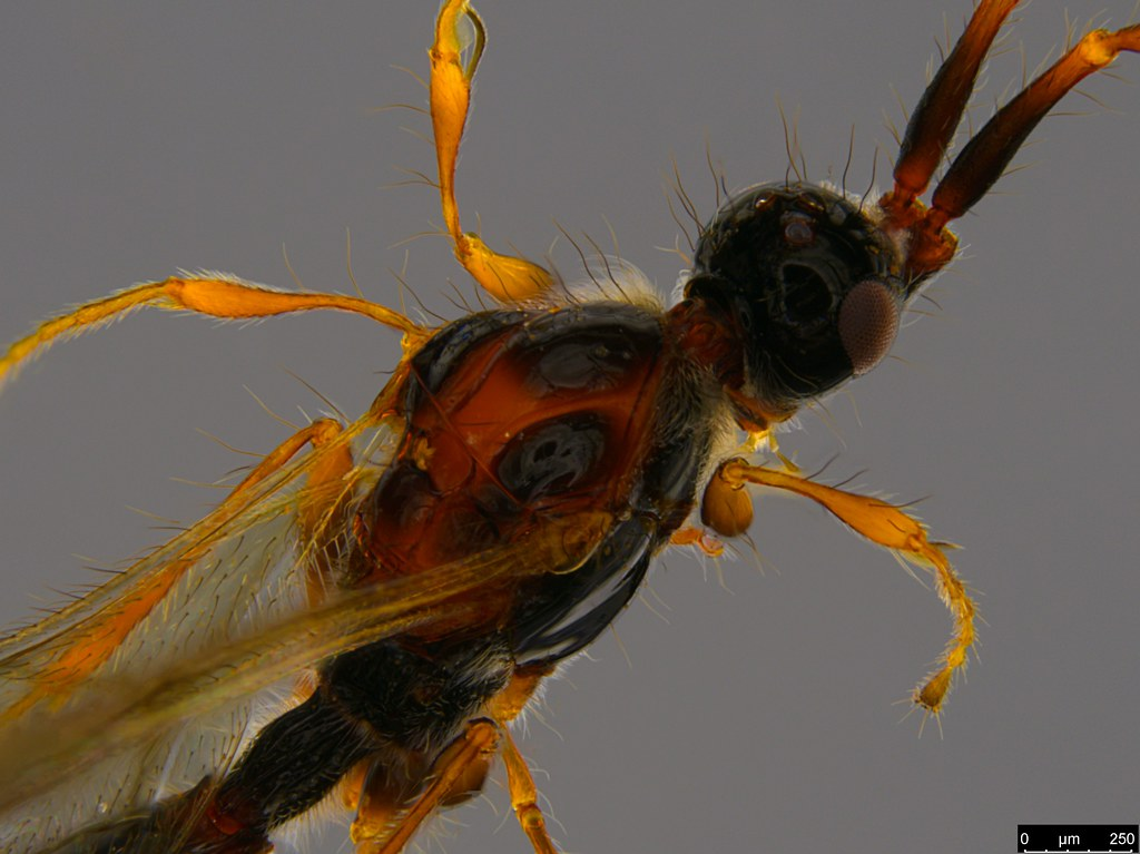26b - Ambositrinae sp.