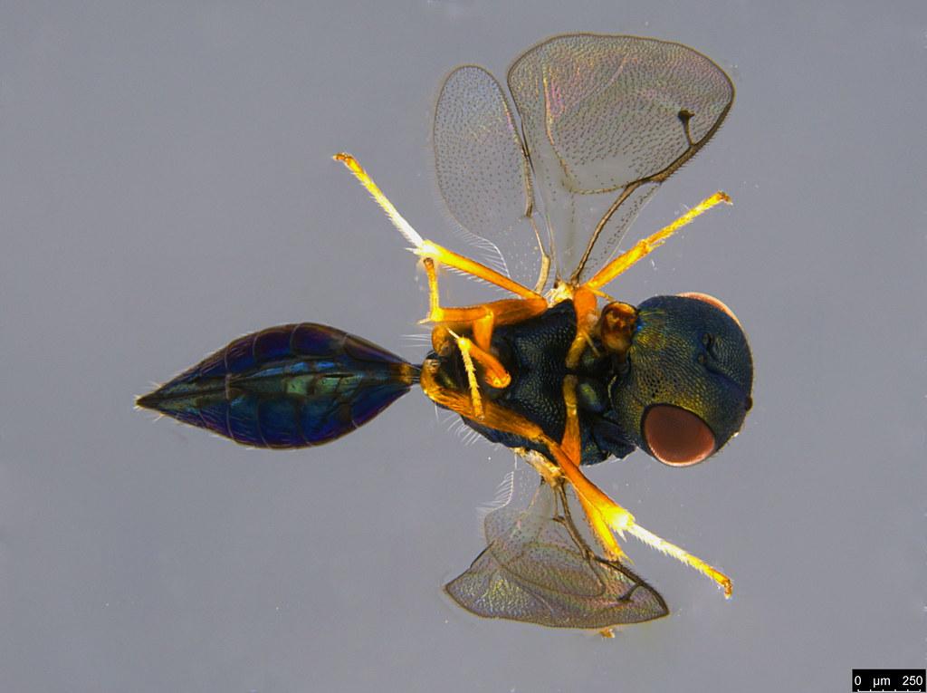 27b - Chalcidoidea sp.
