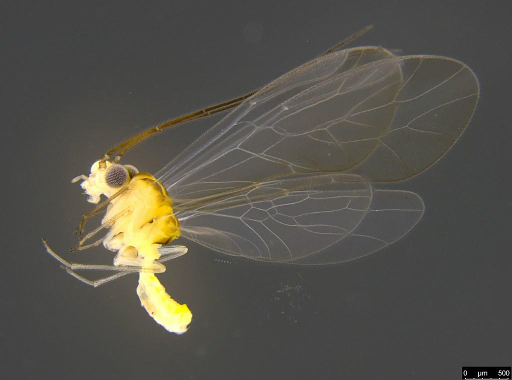 30a - Psocodea sp.