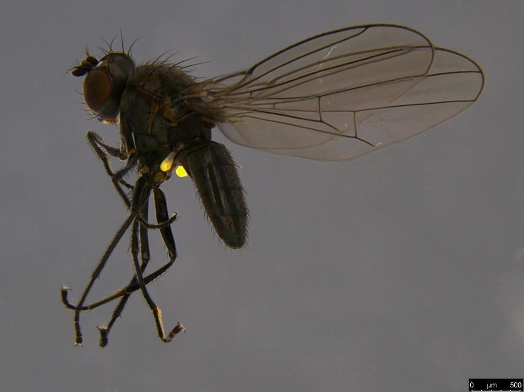 14a - Diptera sp.