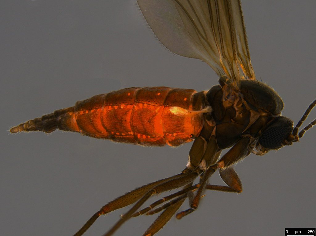 17b - Sciaridae sp.