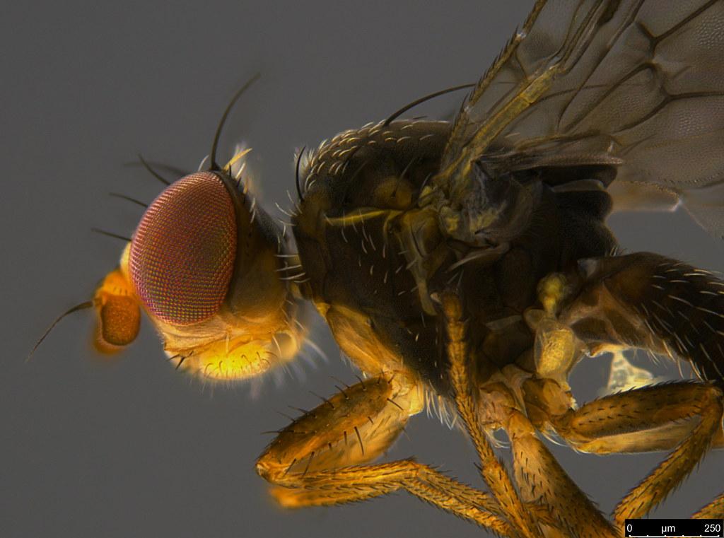 18b - Tephritidae sp.