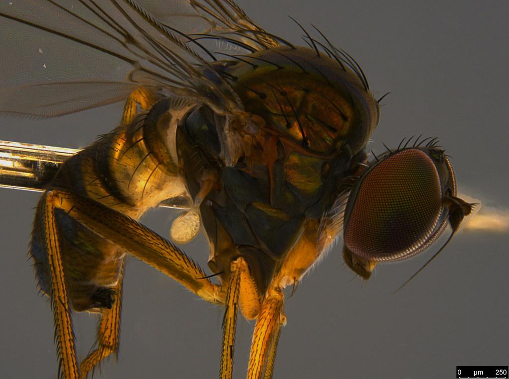 19b - Diptera sp.