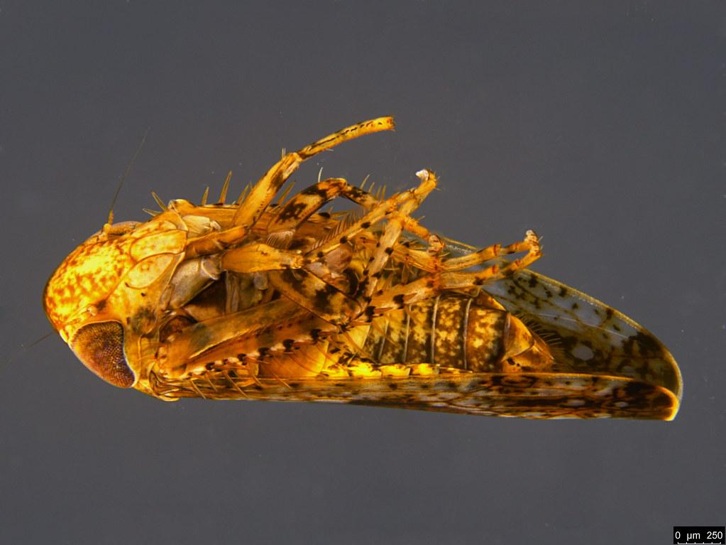 20b - Auchenorrhyncha sp.