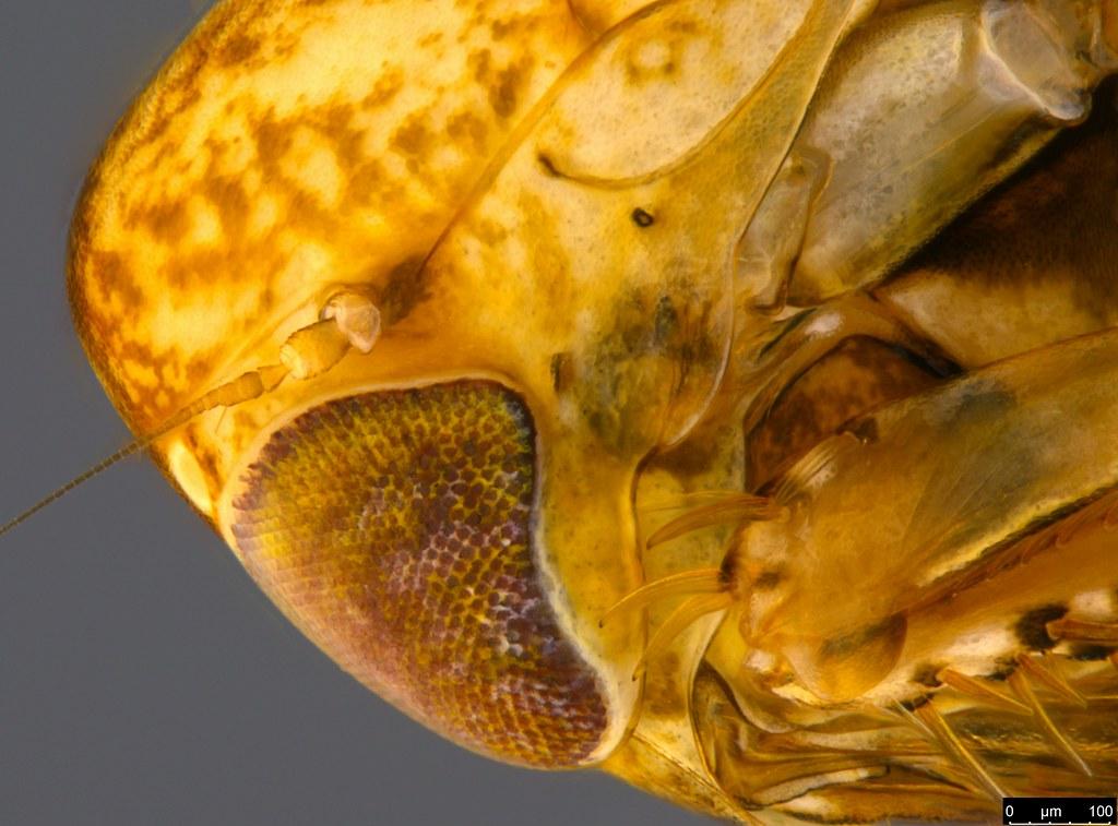 20c - Auchenorrhyncha sp.