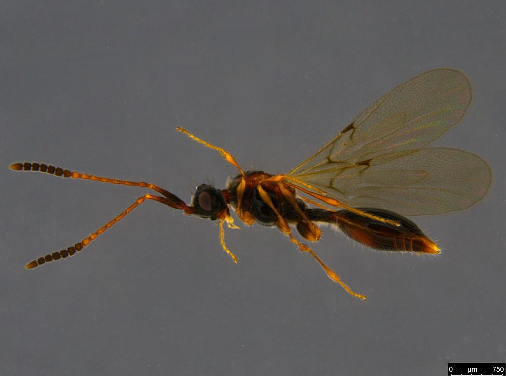 26c - Ambositrinae sp.