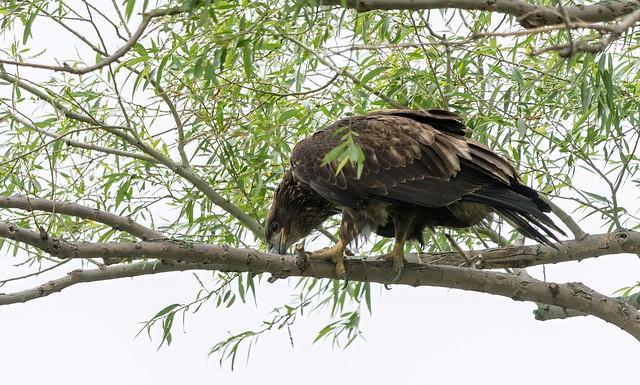 Bald eagle juvenile (Pygargue à tête blanche)