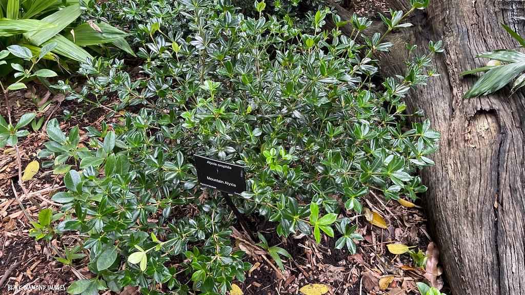 Alyxia orophila - Mountain Alyxia, Chain Fruit