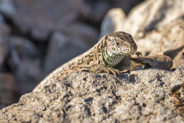 A little lizard