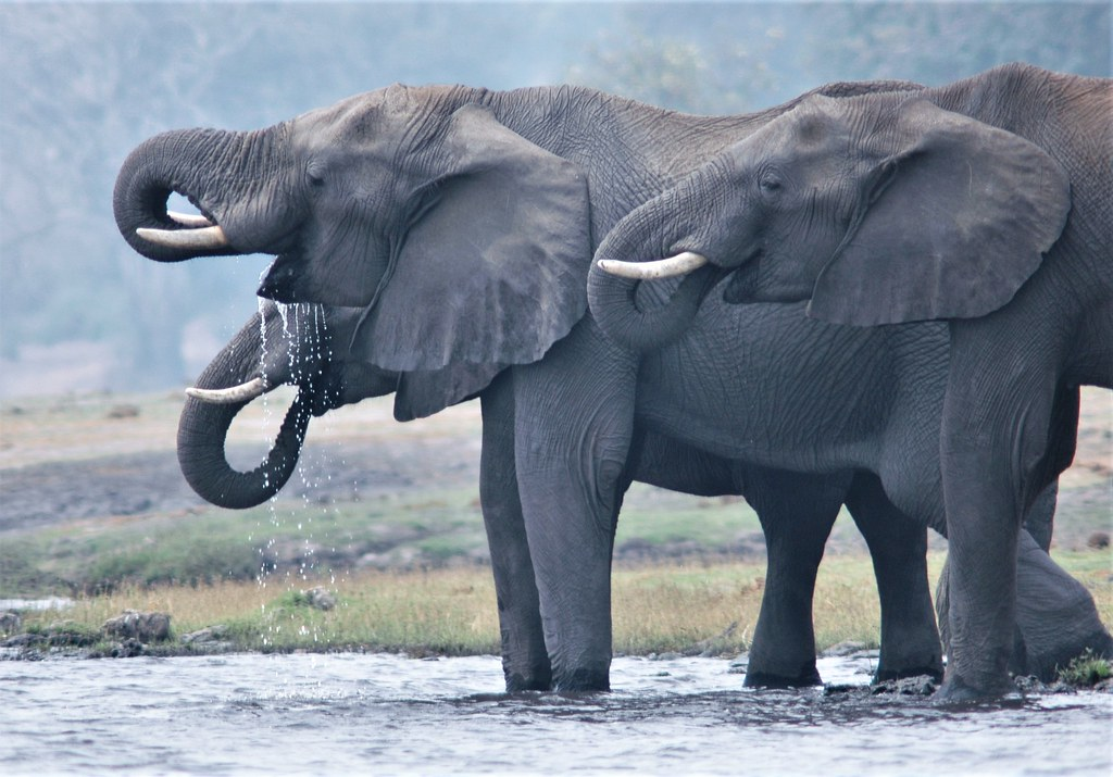 Time for a refreshing drink - Chobe River
